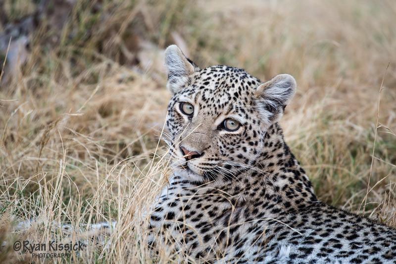 The leopard's gaze