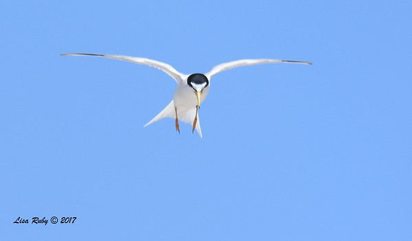 Least Terns Carlsbad Batiquitos Lagoon mouth - 5/20/2017