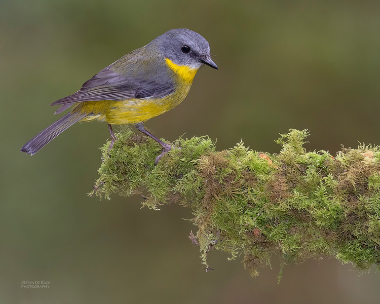 Eastern Yellow Robin, Otway Ranges, VIC, Oct 2018-2.jpg