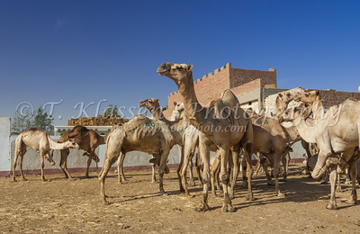 Camel Market, Birqash
