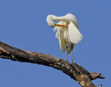 Intermediate Egret, Northern Territory, Australia 2008  ©Gerald Diamond All rights reserved