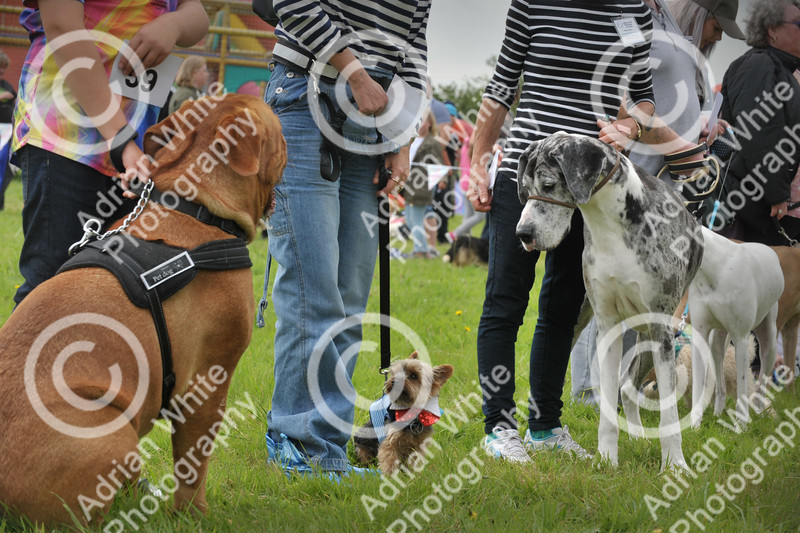 Llys Nini Annual Summer Dog Show in Penllergaer, Swansea ... Mr Universe miniature contender 'TJ' alias tom jones (centre)