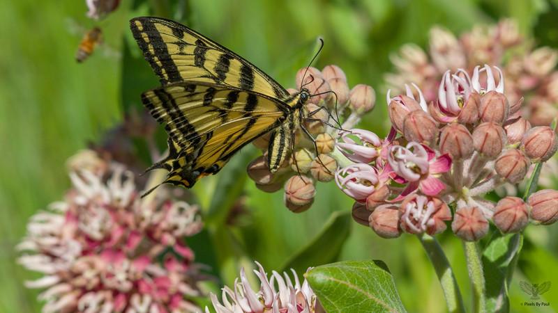Roxy Butterfly 076 16x9.jpg