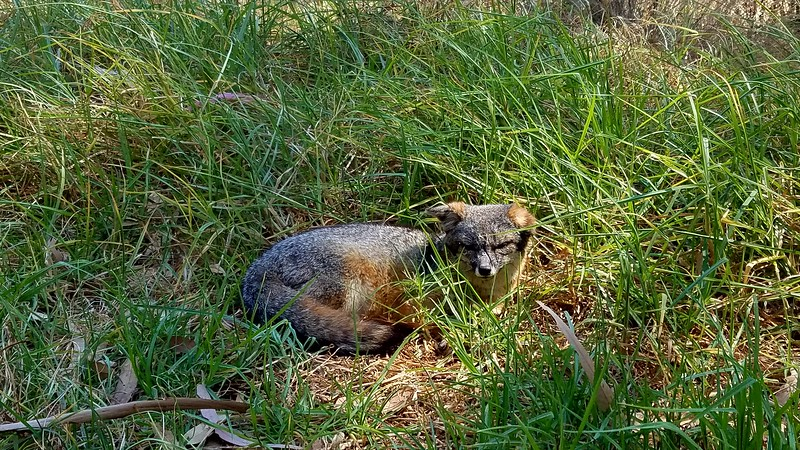 An Island Fox spotted on Santa Cruz Island, Channel Islands National Park, California