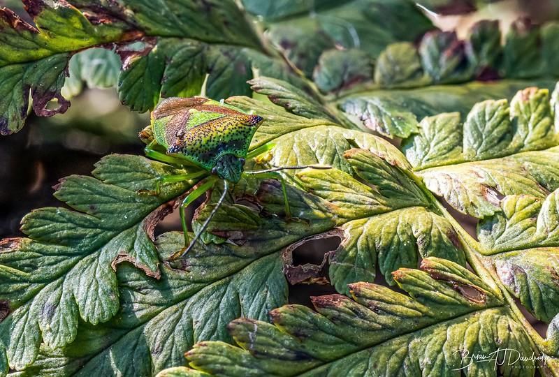 Camouflage - a Hawthorn Shieldbug - Acanthosoma haemorrhoidale