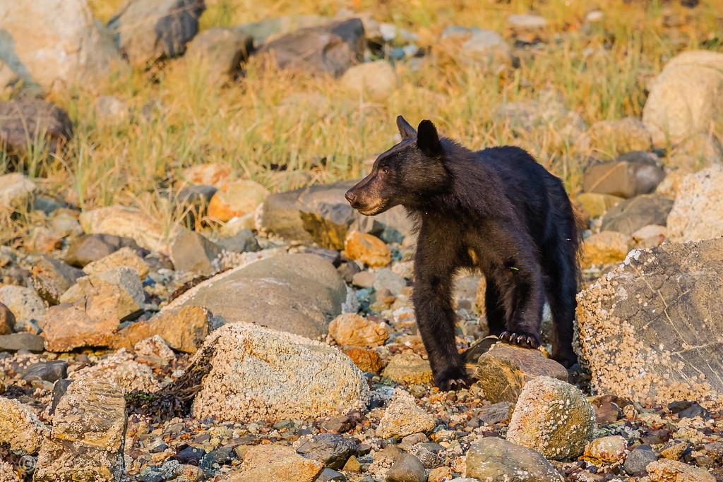 Kayaking Vancouver Island - Black Bear- Lina Stock