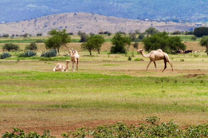 Camels walking on grass - East Africa - Tanzania
