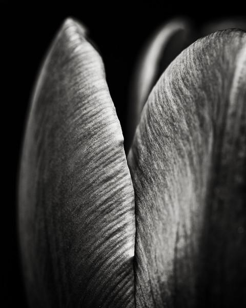 purple-tulip-04.jpg