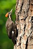 Juvenile Pileated Woodpecker (Dryocopus pileatus) warming itself in the sun in Newport News, VA. © 2007 Kenneth R. Sheide