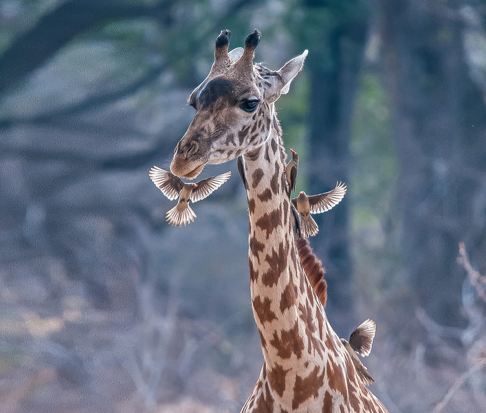Giraffe and Ox Peckers 244 x 207 300 dpi DONE-10.jpg