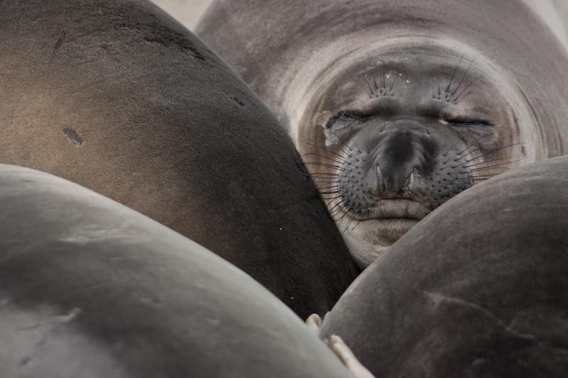 Elephans seal pups