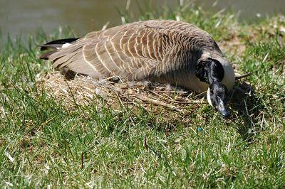 Nesting Geese 1