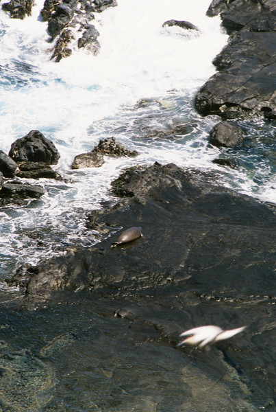 Seal lying on the lava rock beach