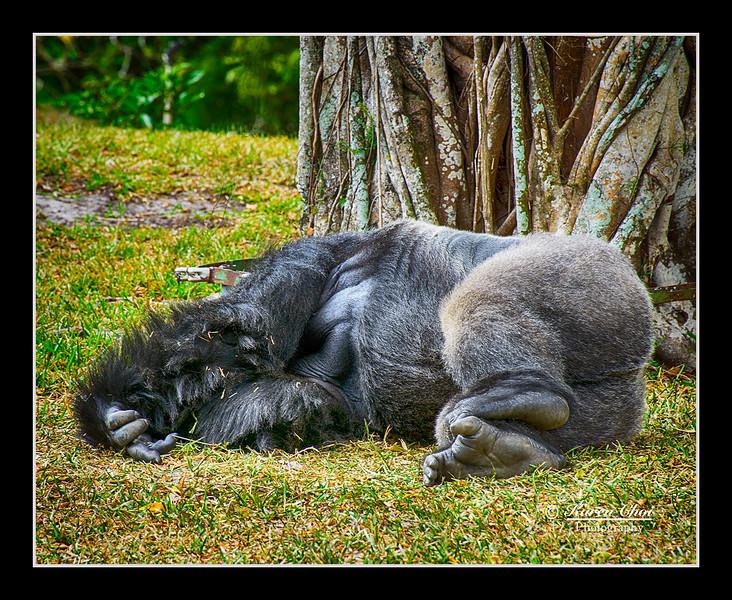 Gorilla Sleeping sm.jpg