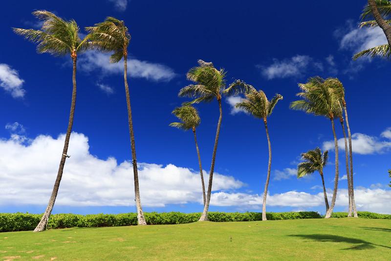 Palm Trees at Ko Olina