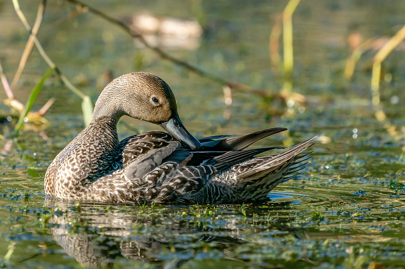 Northern pintail hen