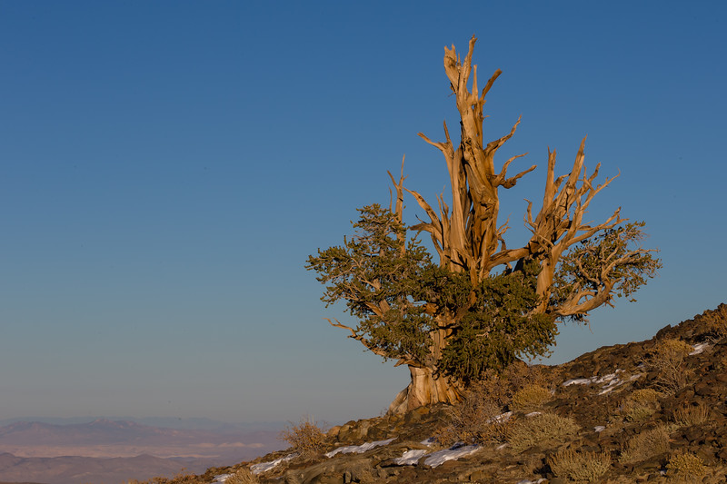 Bristlecone Pine tree in golden light - Ancient Bristlecone Pine forest, Lone Pine, CA