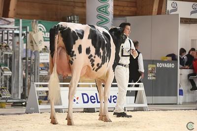 Junior Holstein