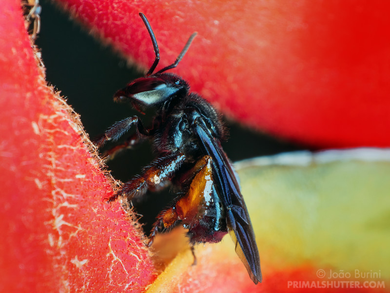 Black stingless bee on a Heliconia flower
