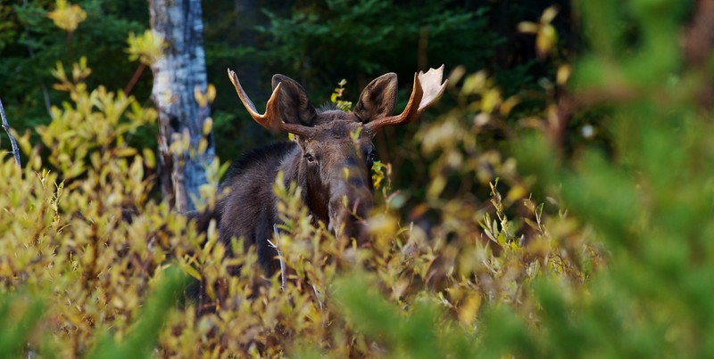Moose bull called in Dumbell Rd Superior National Forest MN nr Isabella IMG_0066749.jpg