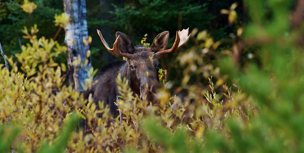 Deer, Moose & Elk