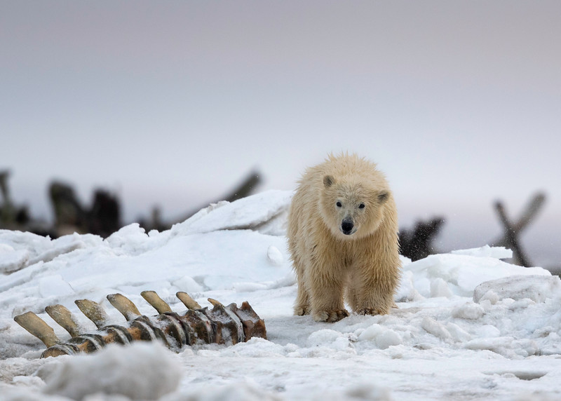 Polar Bear Cub amongst whale bones