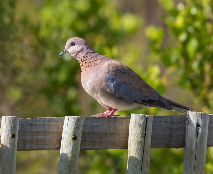 Lauhing Dove (Hermanus 2017)