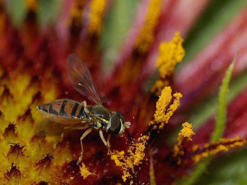 """Varennes, Qc, Canada: mouche ( ! ) non identifiée sur une fleur ( Gaillarde fanfare ) /  Fly on a flower ( Gaillardia """"Fanfare"""" )"""