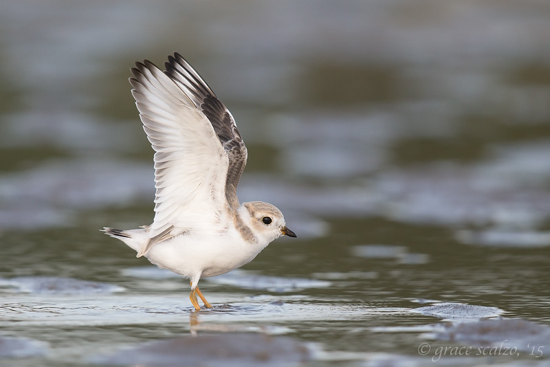 Piping Plover Fledgling wings up