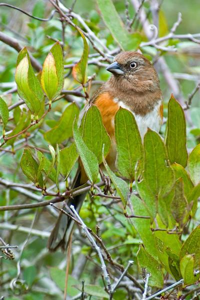 Towhee - Eastern - female - St. George Island State Park - FL - 02