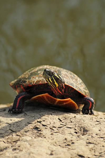 DSC_0347 painted turtle.jpg