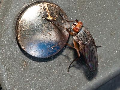 Heleomyzidae - Tephrochlamys