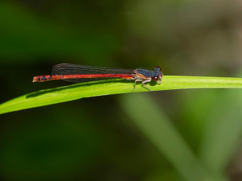 Eastern Red Damsel (Amphiagrion saucium), male