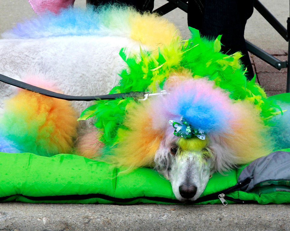 . A standard poodle named Captain was decorated by his owner Shandy Parker of Grain Valley for the Kansas City Saint Patrick\'s Day Parade, Sunday, March 17, 2013. (AP Photo/The Kansas City Star, Fred Blocher)