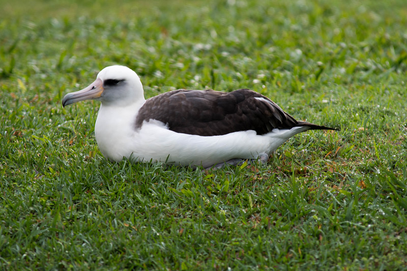 Albatross, nesting and protected