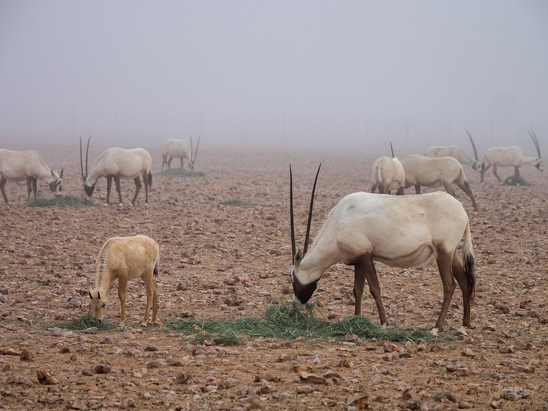 Arabian Oryx (88).jpg