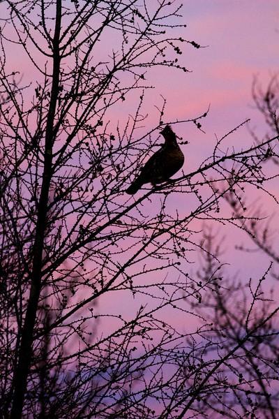 Ruffed Grouse in fruit tree purple sunset CR47 Sax-Zim Bog MN IMG_9642.jpg