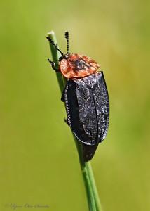 Silphidae (Carrion beetles / Åtselbiller)