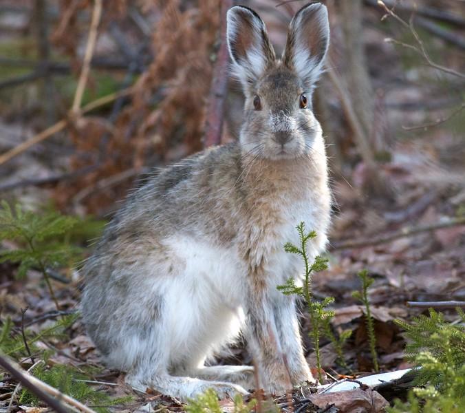 Snowshoe Hare Lepus americanus Echo Trail Ely MN IMG_0036314.jpg