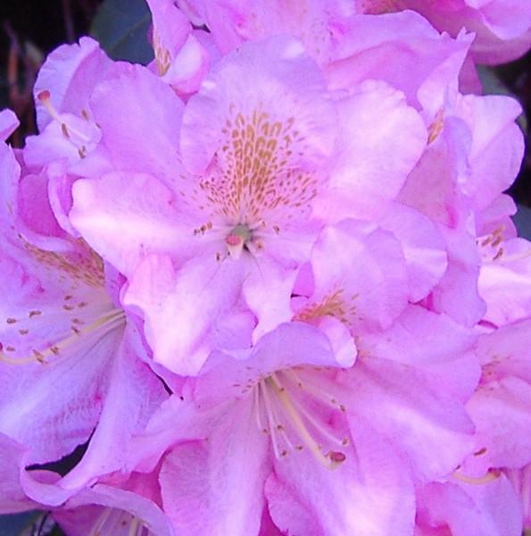 pink close.JPG