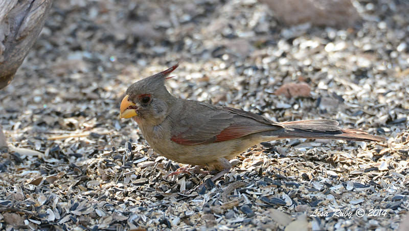 Female Pyrrhuloxia - 4/20-2014 - Ash Canyon B&B, Hereford, Arizona