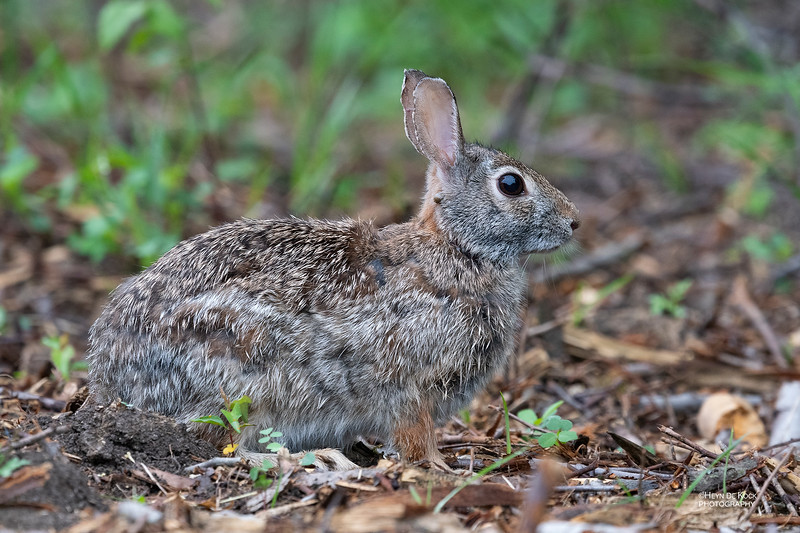 Eastern Cottontail, Standing Bear Lake, Omaha, NE, US, May 2018-1.jpg