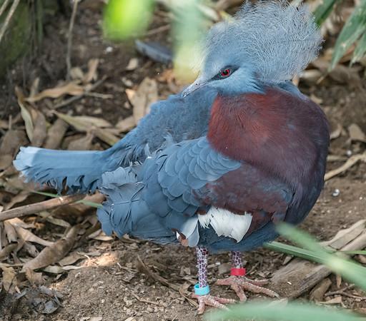 Sciaters Crowned Pigeon