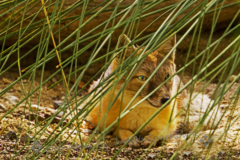 Foxy in the Grass - Judith Sparhawk