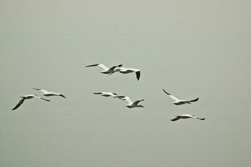 Gannets in flight Farne Islands 6 x 4 300 dpi 2609.jpg