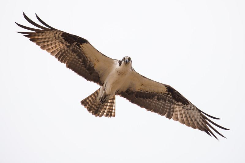 osprey -3213.jpg