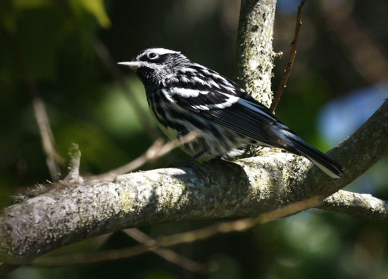 Black and White Warbler, 4-20-09 High Island, Tx.