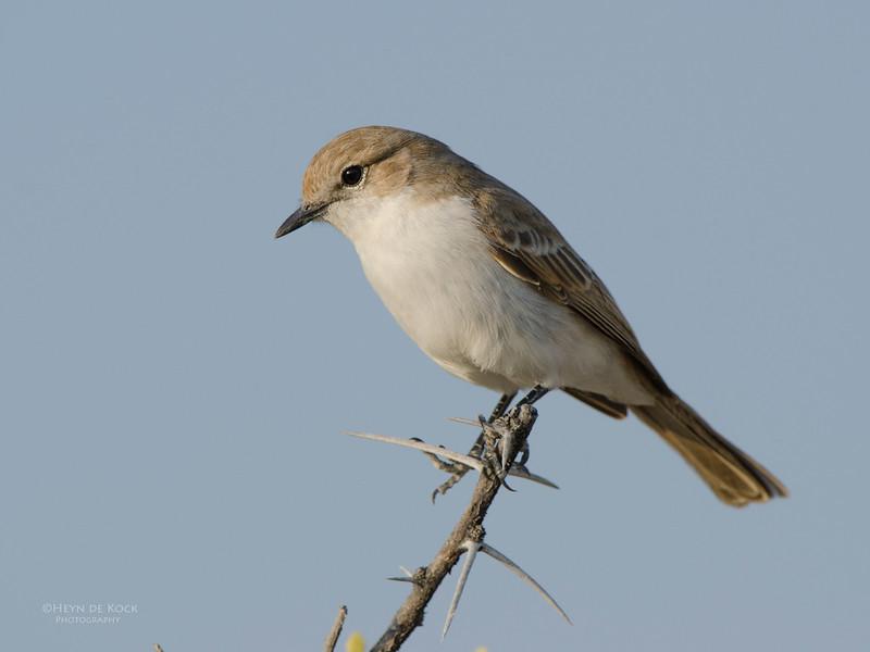 Marico Flycatcher, Etosha NP, Namibia, July 2011.jpg