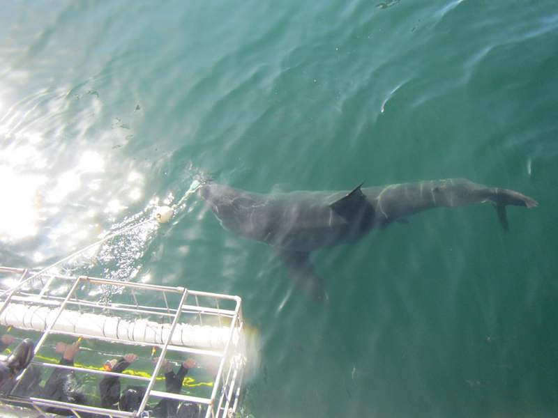 shark in the water next to diving cage