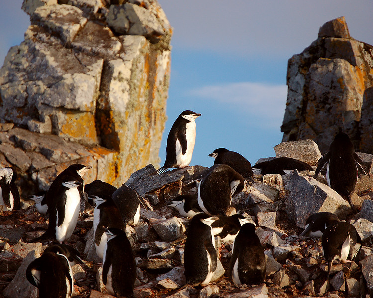 Antarctica: Chinstrap penguins
